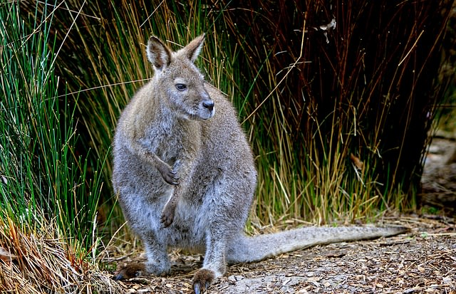 The little wallaby
