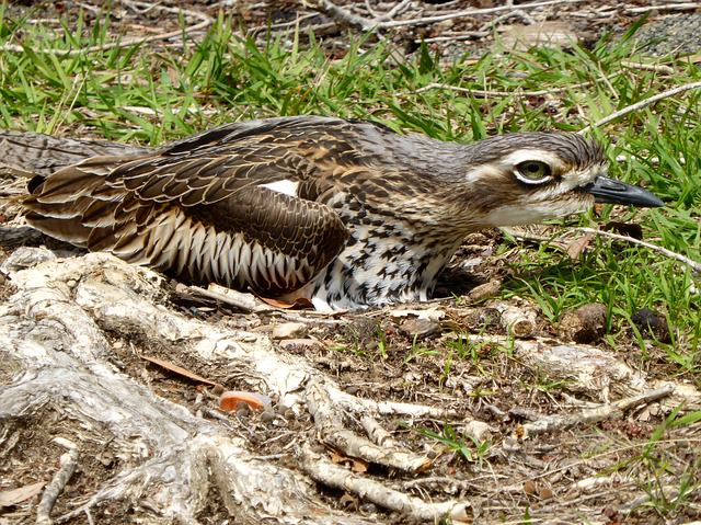 Ode to a Bush Stone-Curlew