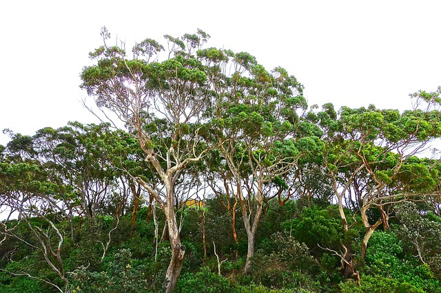 Trimming a Eucalypt