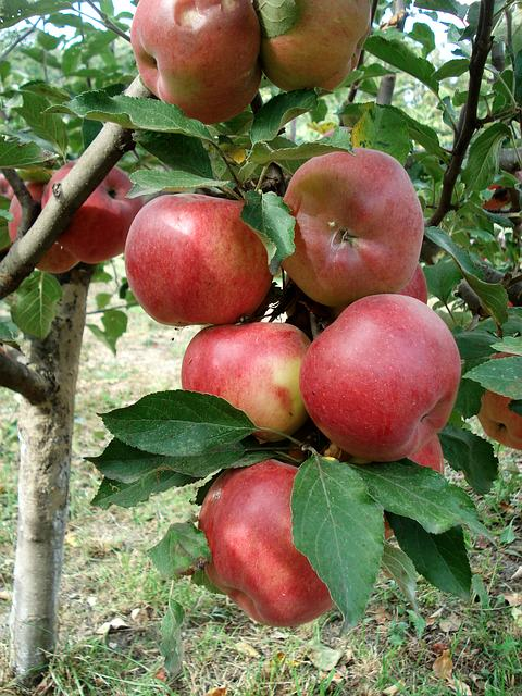 Apple – Whimsey (a la Pam Ayres)